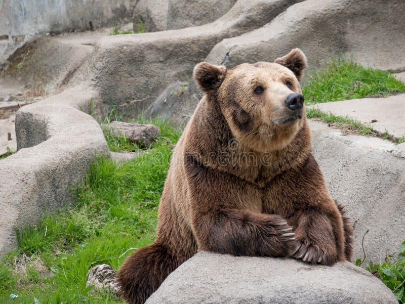 Arctos eurasiáticos de los arctos del Ursus del oso marrón en la roca imágenes de archivo libres de regalías