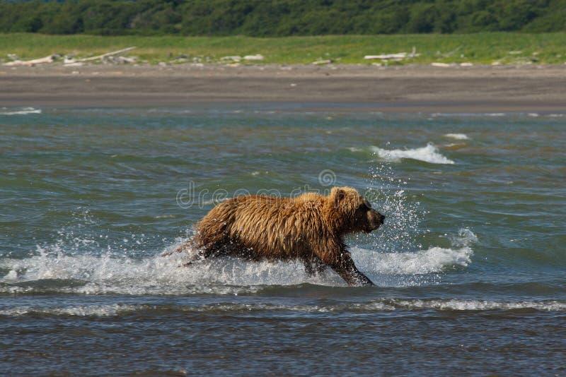 Arctos litorais pacíficos do usus dos ursos de Brown - grizzliy - no KE fotos de stock