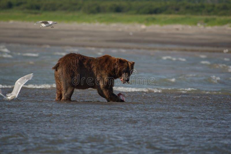 Arctos litorais pacíficos do usus dos ursos de Brown - grizzliy - no KE fotos de stock royalty free