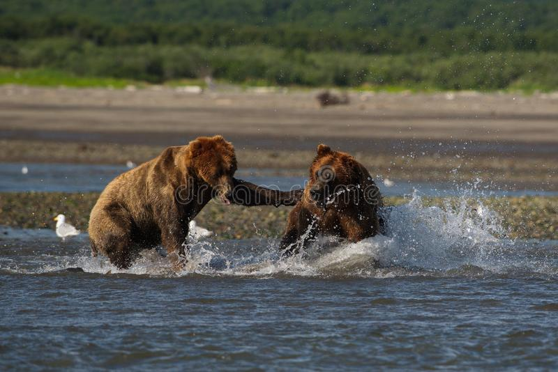 Arctos litorais pacíficos do usus dos ursos de Brown que lutam - grizzliy - fotos de stock royalty free