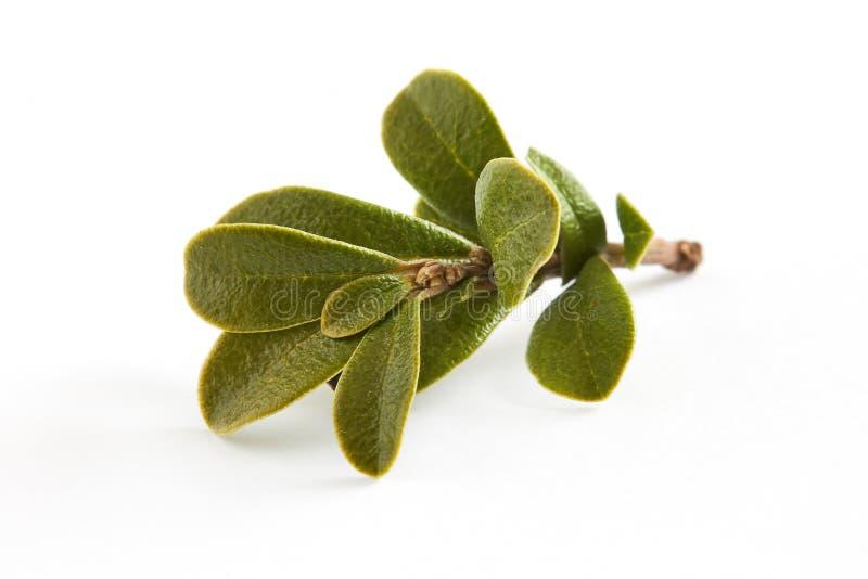 Arctostaphylos van beredruifbladeren uva-ursi royalty-vrije stock foto