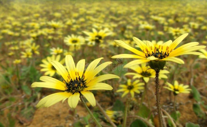 arctotheca calendula kwiaty zdjęcia royalty free