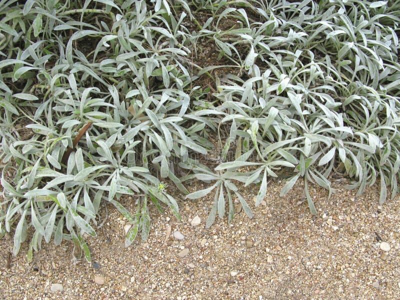 Arctotis stoechadifolia银色叶子 免版税图库摄影