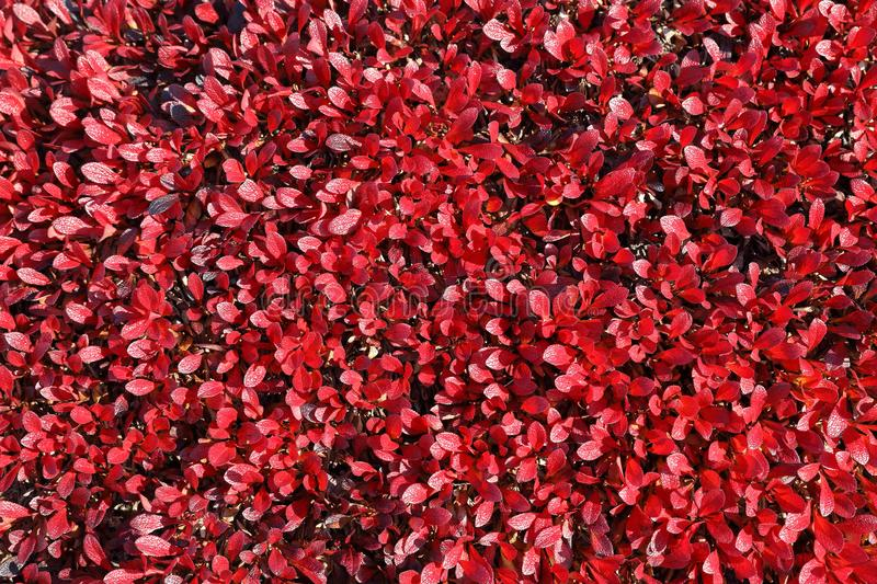 Arctous alpina. Background of plants autumn day in Yamal. Arctous alpina. Red leaves of the plant in autumn in Northern Siberia royalty free stock image