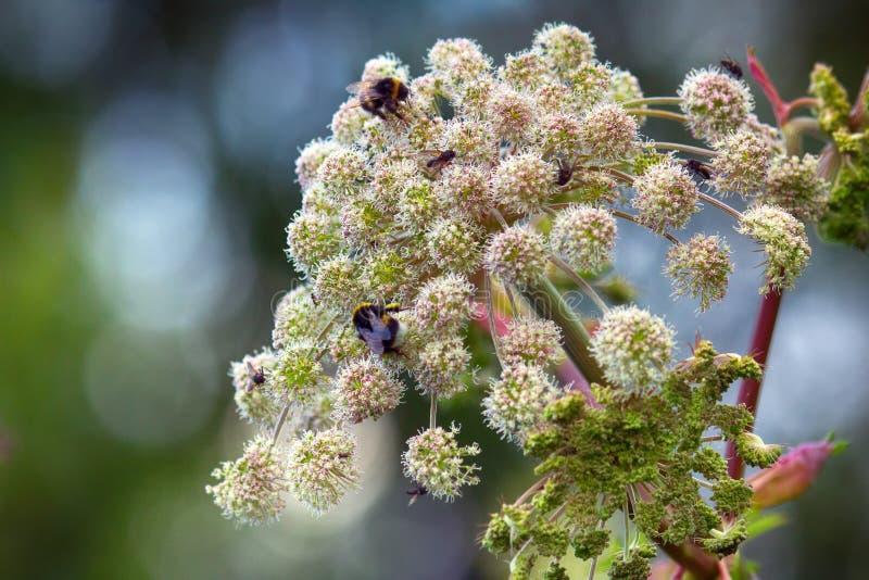 Arcydzięgiel (Archangelica officï ¿ ½ nalis), umbelliferae, luksusowy kwiat fotografia royalty free