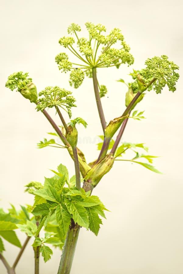 Arcydzięgiel, lecznicza roślina fotografia stock