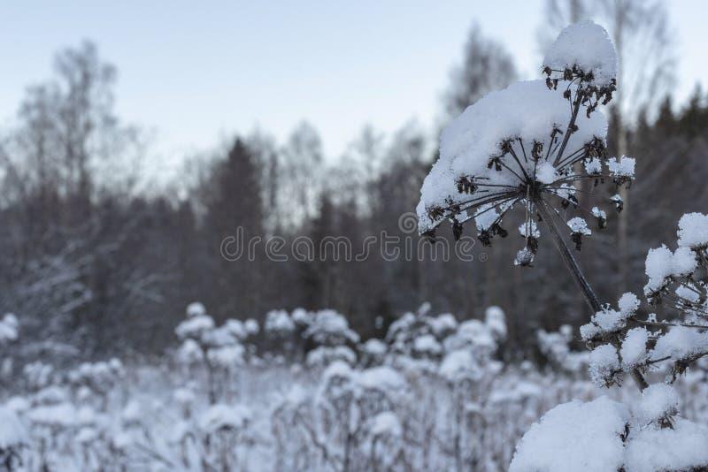 Arcydzięgiel z śniegiem na wierzchołku zdjęcia royalty free