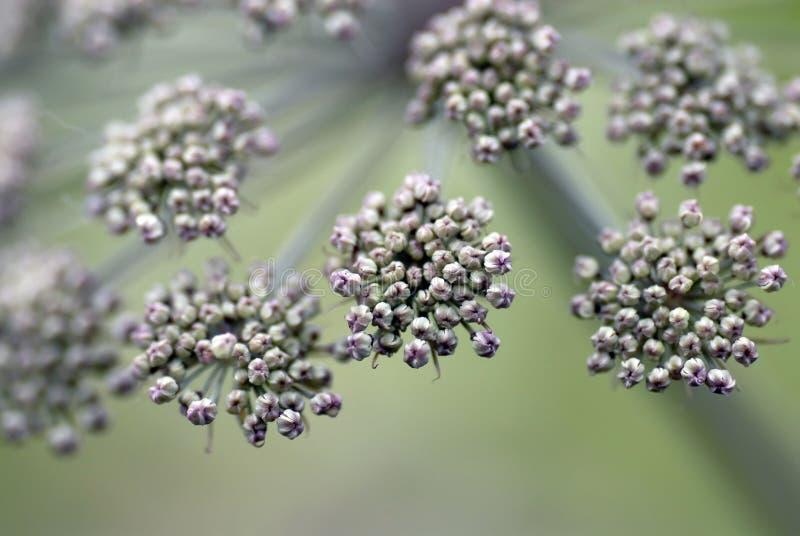 arcydzięgielowa makro- roślina zdjęcia stock