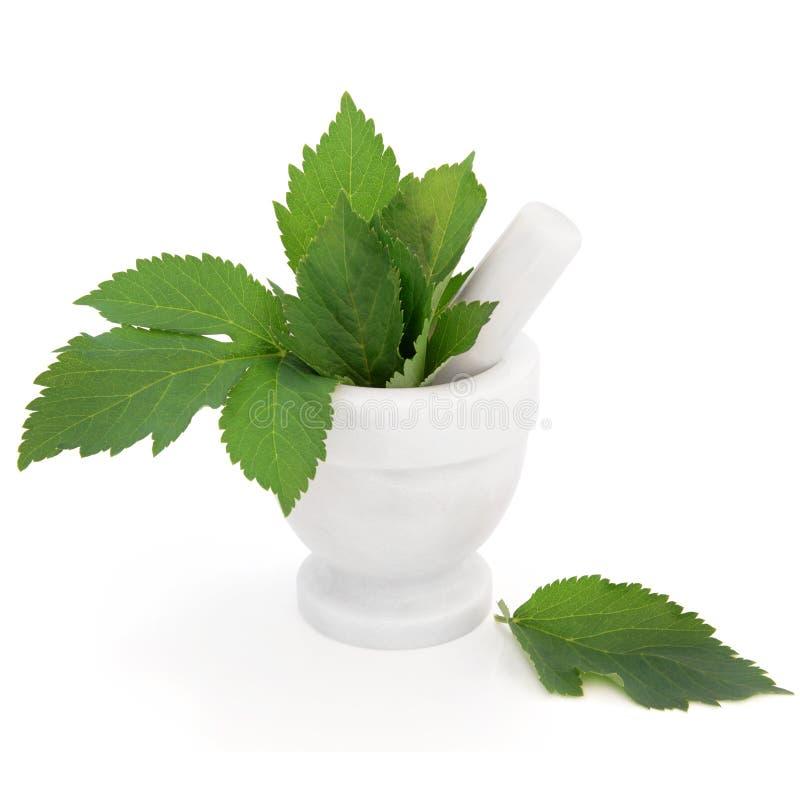arcydzięgielowy ziele zdjęcia stock