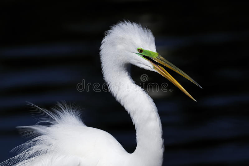 Download Ardea alba, great egret stock image. Image of eyes, face - 10748673