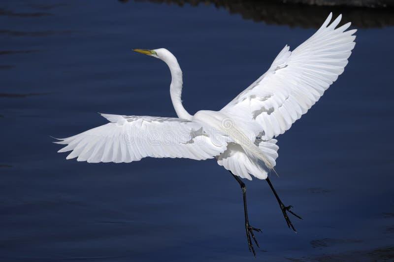 Download Ardea alba, great egret stock photo. Image of landing - 10748874