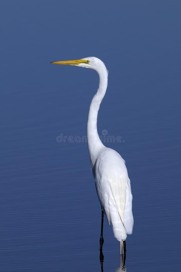Free Ardea Alba, Great Egret Stock Photo - 11180110