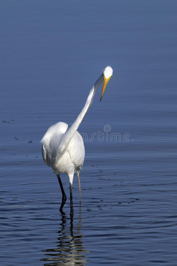 Download Ardea alba, great egret stock image. Image of colorful - 11180125