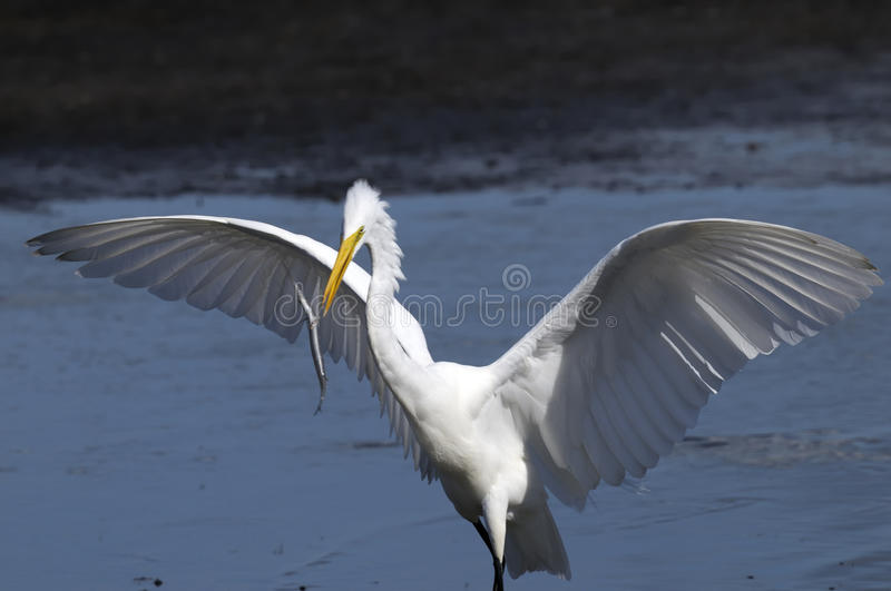 Ardea alba, great egret royalty free stock images