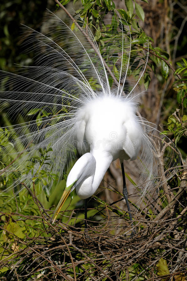 Download Ardea alba, great egret stock image. Image of look, feathers - 11180561