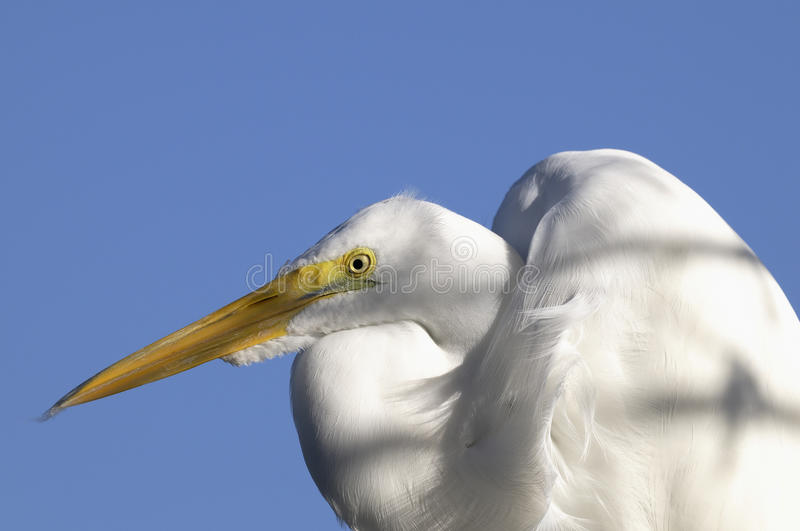 Download Ardea alba, great egret stock image. Image of america - 11751459