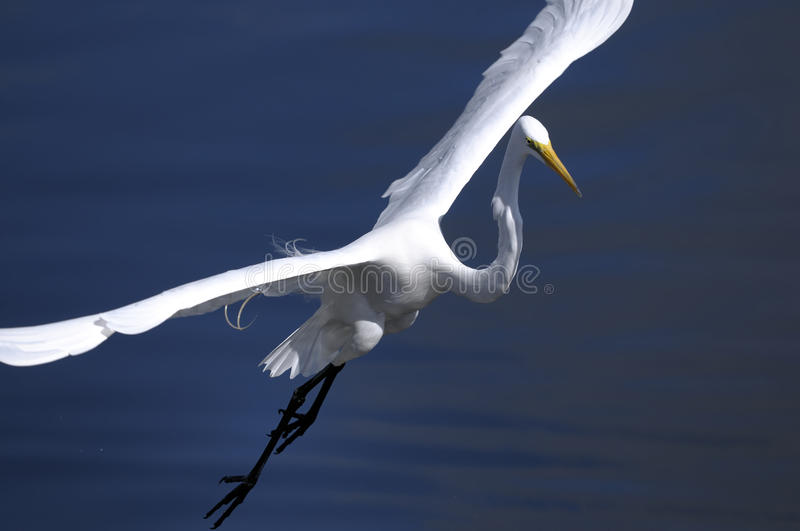 Download Ardea alba, great egret stock image. Image of life, cute - 11751659