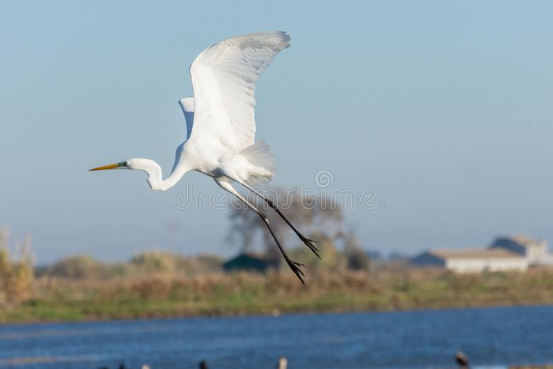 Ardea Alba white egret flying in the Albufera Natural Park, Valencia, Spain royalty free stock photos