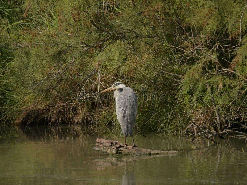 Ardea Cinerea, серая цапля, хищная птица стоковая фотография