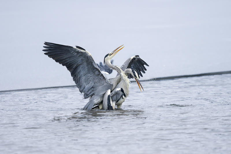 Download Ardea cinerea, grey heron stock image. Image of plumage - 24824905
