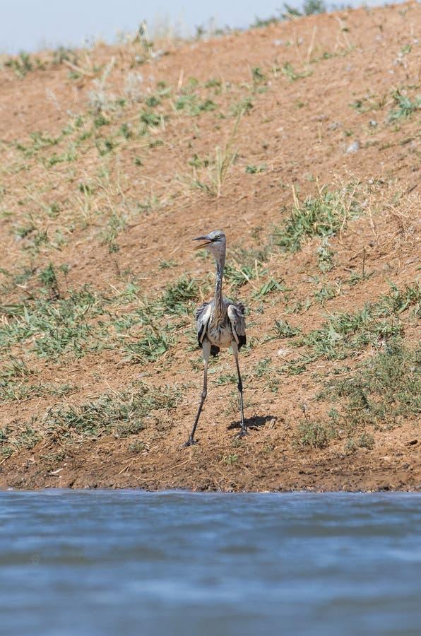 Ardea gris de h?ron cinerea L'oiseau boit l'eau dans le canal de la rivi?re, ?teint la soif pendant une p?riode de s?cheresse image stock