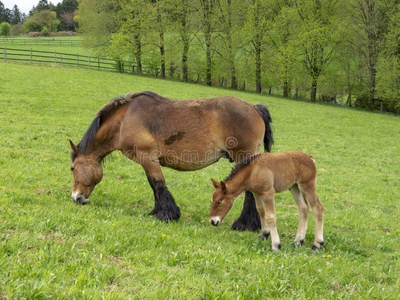 Ardennes źrebięcia pozycja obok swój pastwiskowej matki fotografia stock