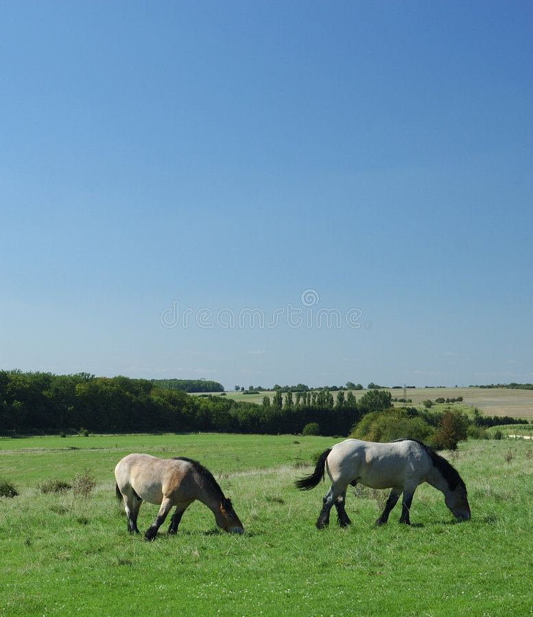 Ardennes horses on blue sky stock image