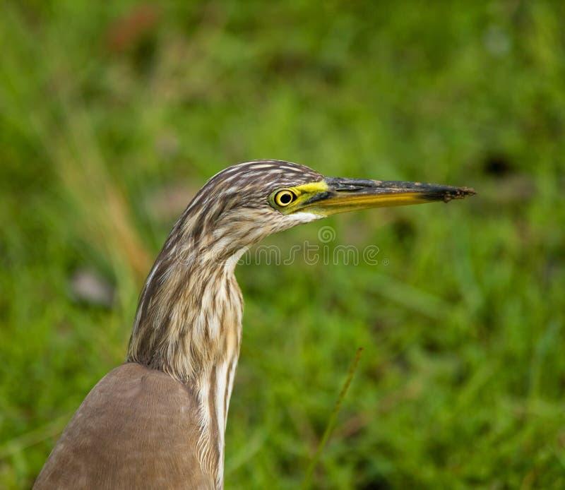 ardeola grayii苍鹭印地安人池塘 免版税图库摄影