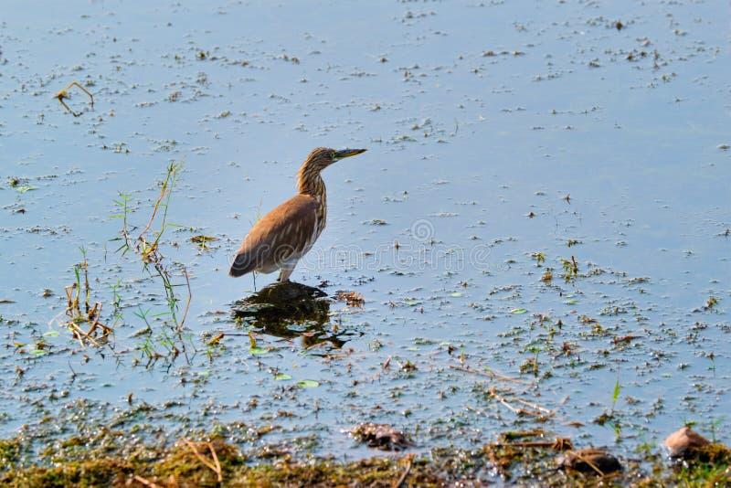 Ardeola grayii, héron d'étang indien ou paddybird, dans un lac photo stock