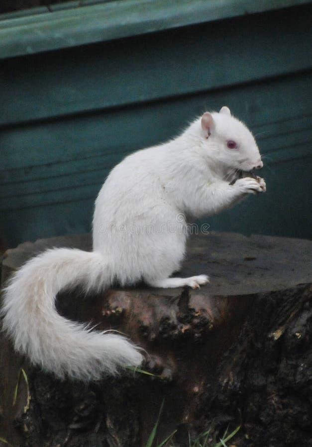 Ardilla blanca imagen de archivo