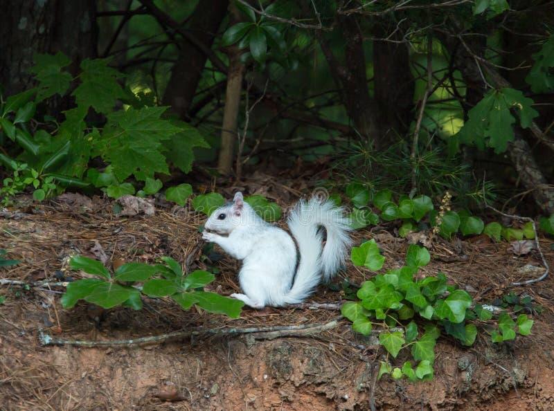 Ardilla blanca que se detiene brevemente en Forest Edge imagen de archivo libre de regalías