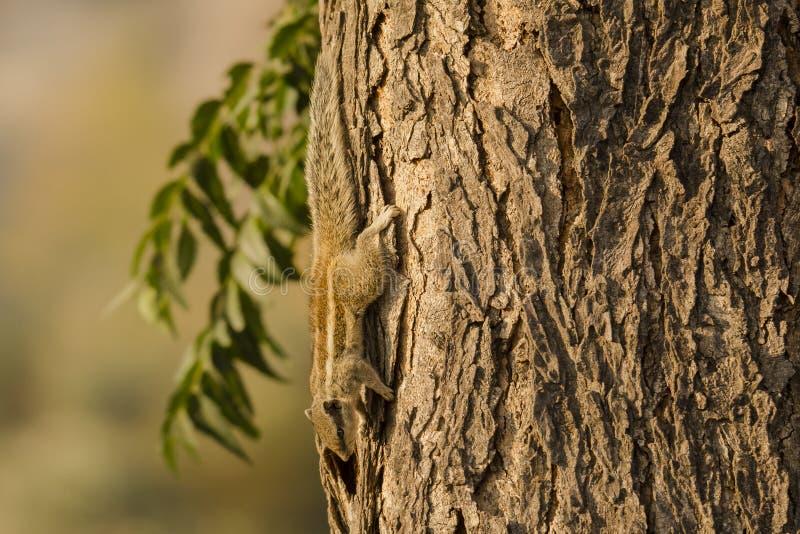 Ardilla Cinco-rayada de la palma que sube abajo el árbol imagenes de archivo