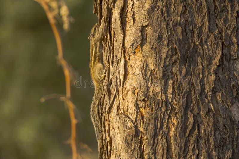 Ardilla Cinco-rayada de la palma que sube para arriba el árbol imágenes de archivo libres de regalías
