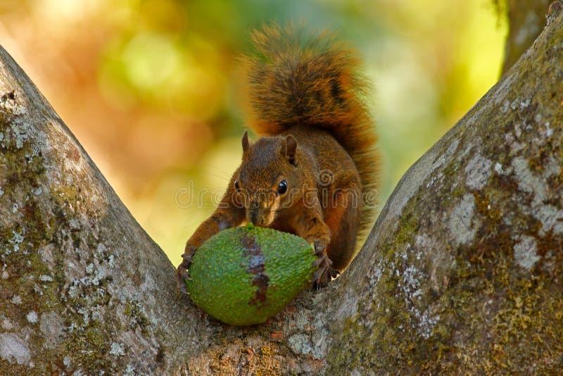 Ardilla con el aguacate de la fruta Ardilla abigarrada, variegatoides del Sciurus, con la comida, retrato principal del detalle,  foto de archivo