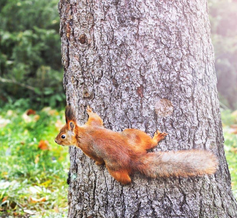 Ardilla curiosa Ardilla roja Ardilla Otoño Invierno Primavera del bosque Animales E imagenes de archivo