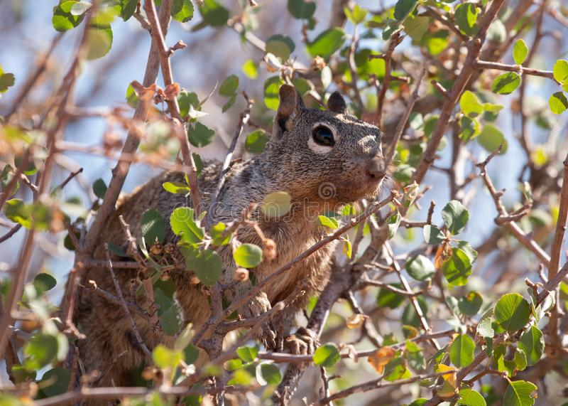 Ardilla de gris occidental que lo mira territorio del ` s del alto en las ramas de un árbol fotografía de archivo libre de regalías