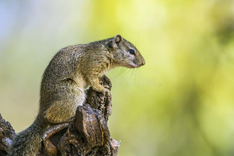 Ardilla de Smith arbusto en el parque nacional de Kruger, Suráfrica fotos de archivo libres de regalías