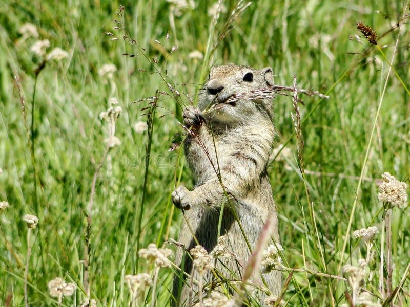 Ardilla De Tierra Cuta Comer Una Parada De Semillas De Grasa En Los Meadows Tuolumne, Parque Nacional Yosemite, California, Estado fotos de archivo libres de regalías