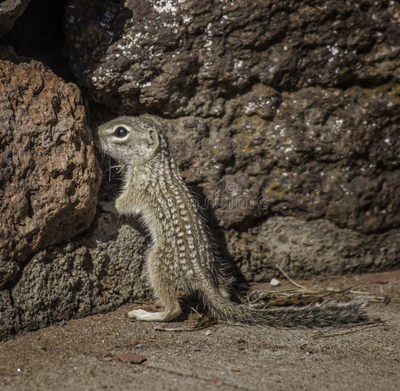 Ardilla de tierra mexicana en rocas imágenes de archivo libres de regalías