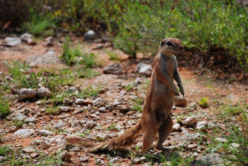 Ardilla de tierra Parque internacional de Kgalagadi Northern Cape, Suráfrica imagen de archivo