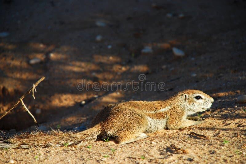 Ardilla de tierra Parque internacional de Kgalagadi Northern Cape, Suráfrica fotos de archivo