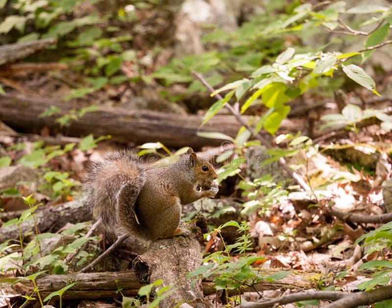 Ardilla del bebé en bosque imagenes de archivo