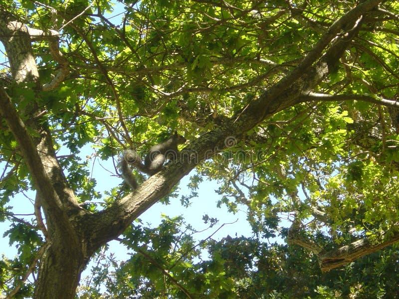 Ardilla en árbol frondoso en Cape Town Suráfrica foto de archivo libre de regalías