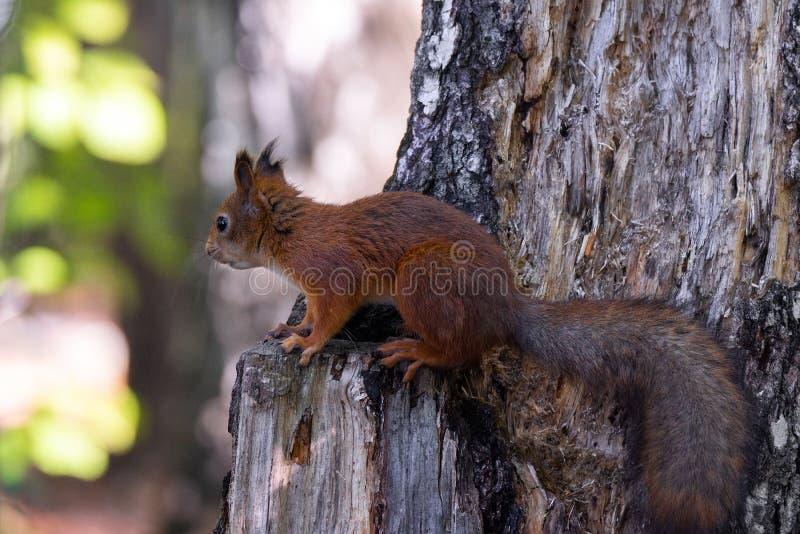 Ardilla en el árbol fotos de archivo