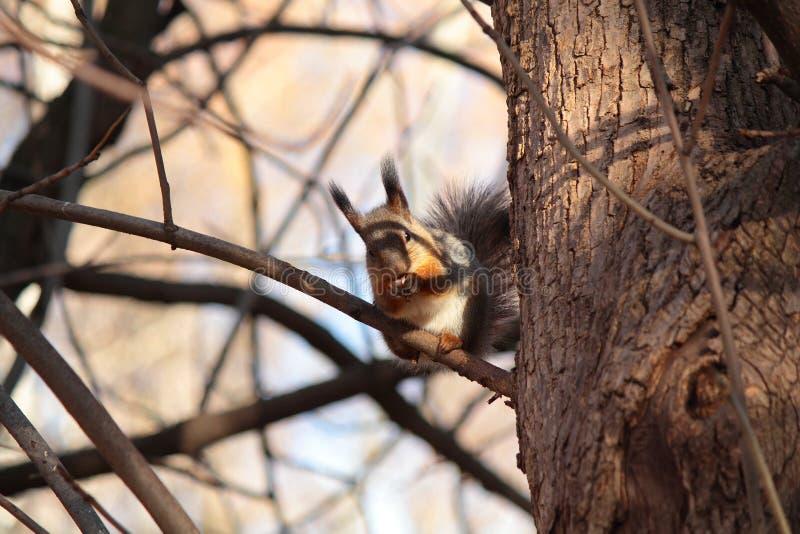 Ardilla en el árbol imagen de archivo libre de regalías