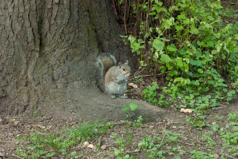 Ardilla en el parque con el árbol foto de archivo