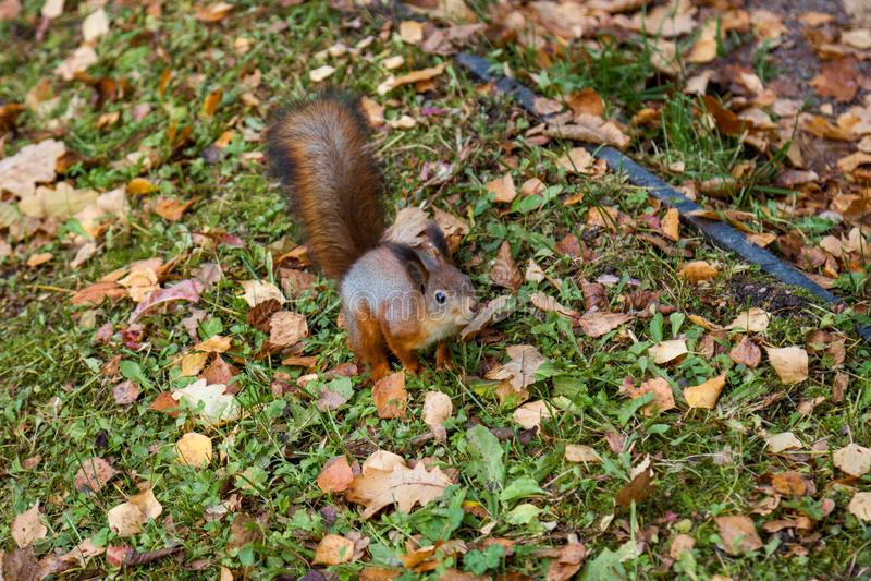 Ardilla en parque del otoño imagen de archivo
