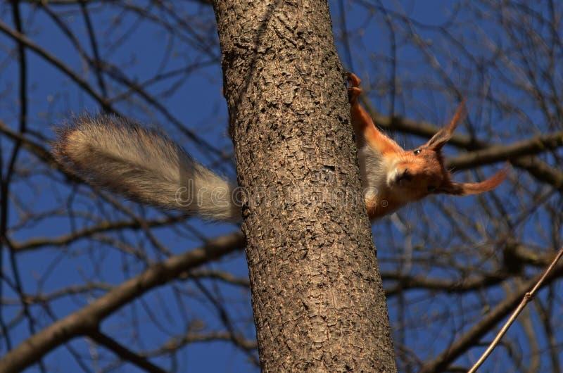 Ardilla en un árbol imagen de archivo