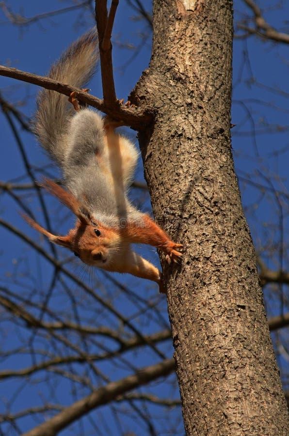 Ardilla en un árbol foto de archivo