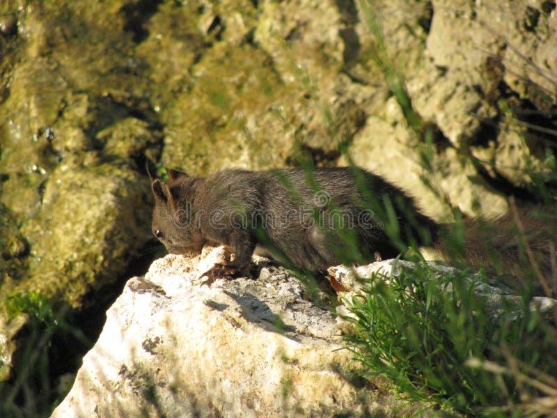 Ardilla gris en una roca cerca del mar Mediterráneo en Croacia imagenes de archivo